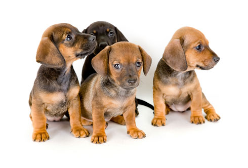 A group of puppies.